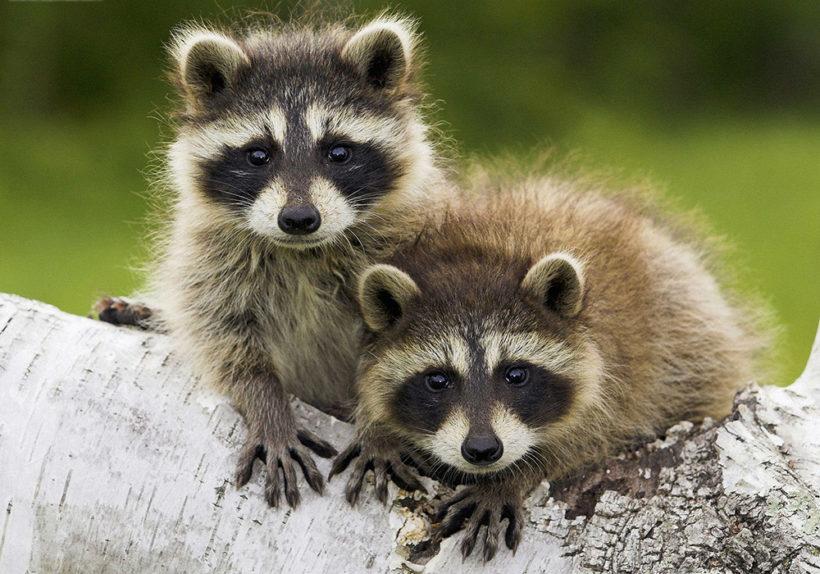 crock pot raccoon a deep woods arkansas classic